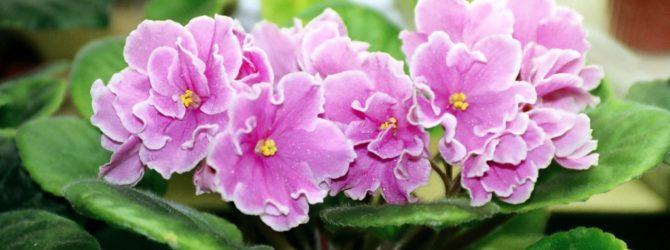 Фиалка: описание, размножение, уход, посадка, применение в саду, фото, сорта и виды