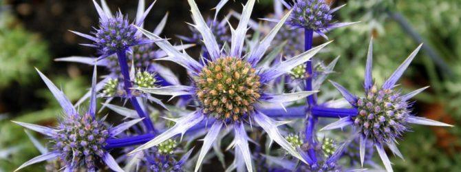 Синеголовник (Эрингиум): описание, размножение, уход, посадка, применение в саду, фото, сорта и виды