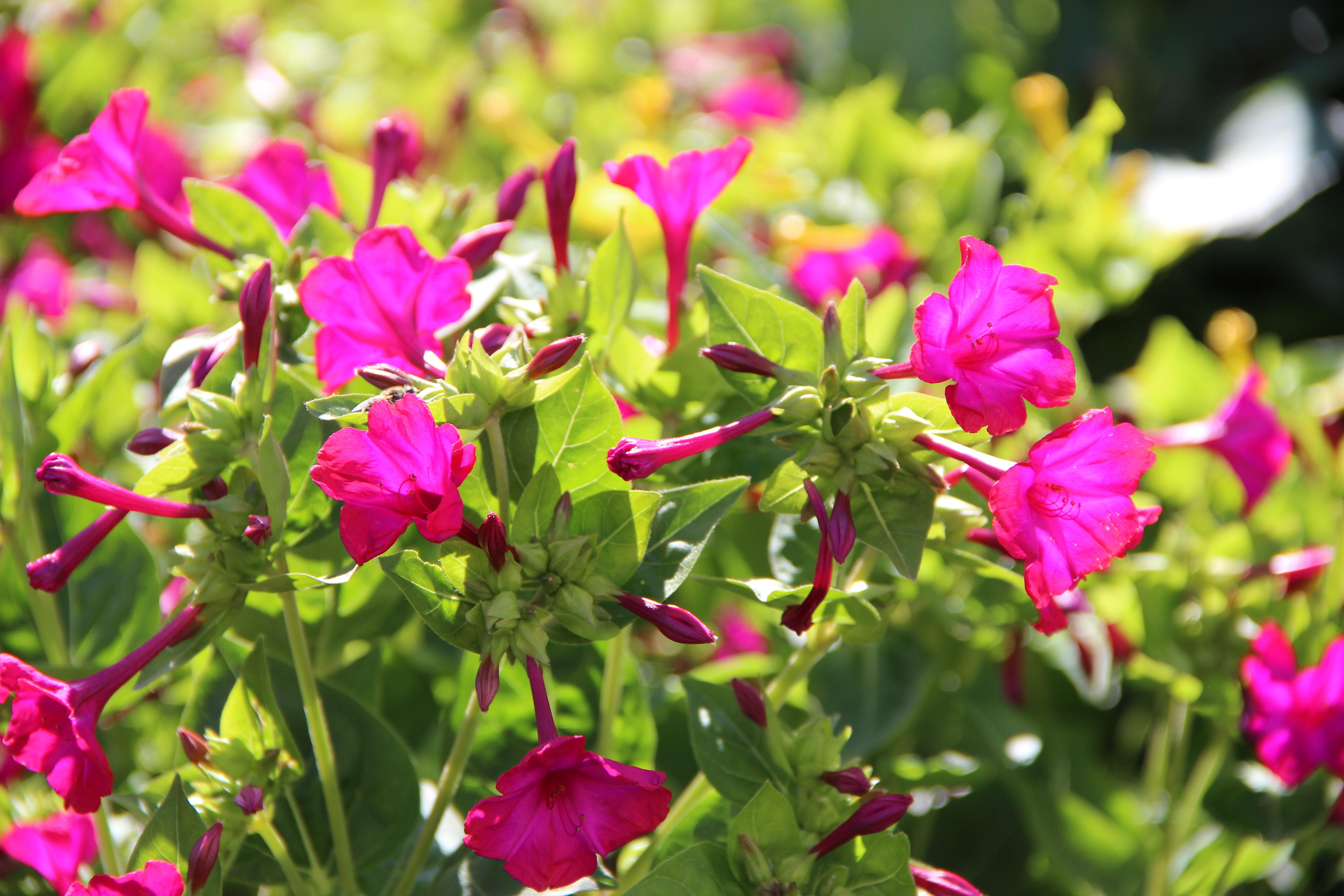 Цветок ночная красавица (мирабилис посадка и уход, фото) 47