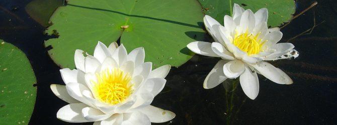 Кувшинка: описание, размножение, уход, посадка, применение в саду, фото, сорта и виды