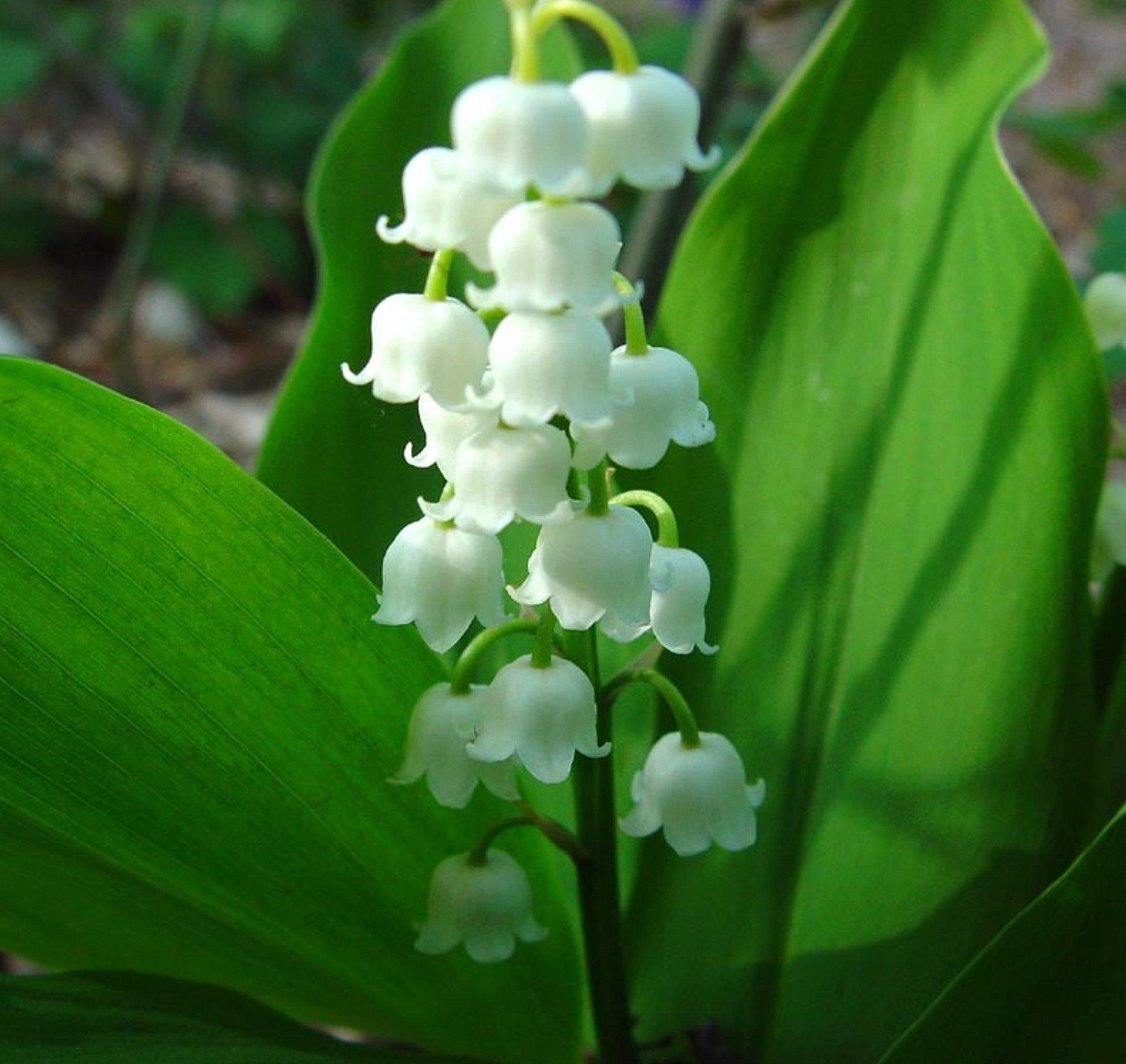 Ландыш: описание, размножение, уход, посадка, применение в саду, фото, сорта и виды