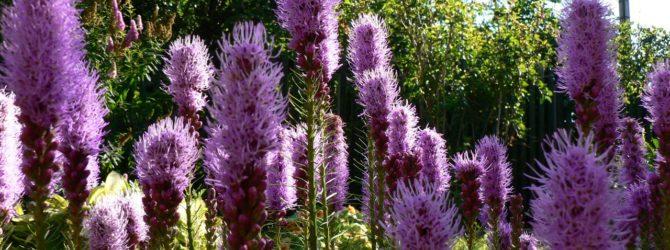 Лиатрис: описание, размножение, уход, применение, фото, сорта и виды
