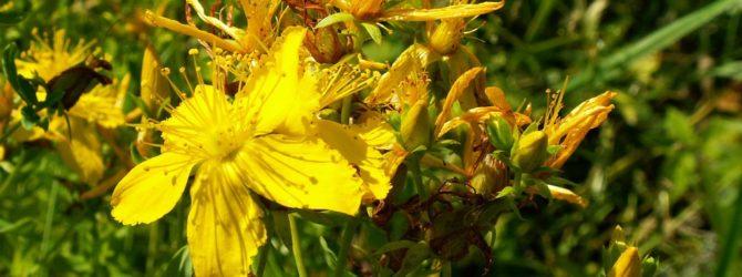 Зверобой: описание, размножение, уход, посадка, применение в саду, фото, сорта и виды