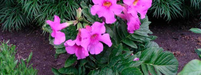 Инкарвиллея: описание, размножение, уход, посадка, применение в саду, фото, сорта и виды