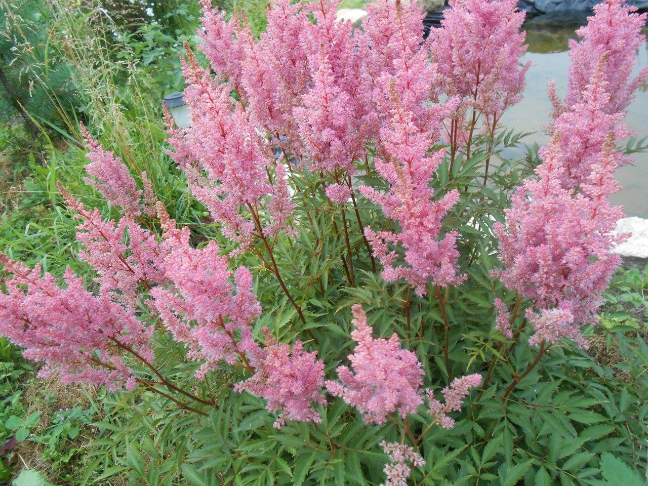 Астильба: описание, размножение, уход, посадка, применение в саду, фото, сорта и виды