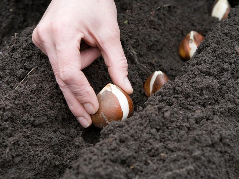 Правила посадки луковичных растений
