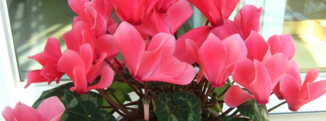Цикламен: описание цветка, цикламен уход за ним, виды и сорта, размножение