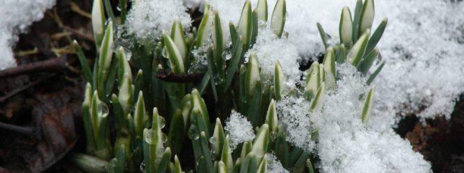 Подснежник: описание, размножение, уход, посадка, применение в саду, фото, сорта и виды