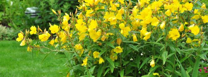 Чистяк: описание, размножение, уход, посадка, применение в саду, фото, сорта и виды