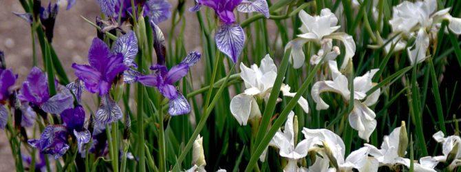 Ирис: описание, размножение, уход, посадка, применение в саду, фото, сорта и виды