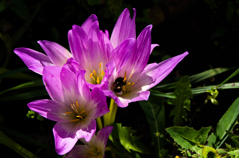 Безвременник цветок выращивание