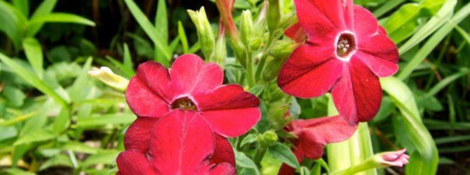 Душистый горошек: описание, размножение, применение, уход, фото