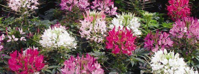 Клеома: описание растения, размножение клеомы, основной уход за клеомой