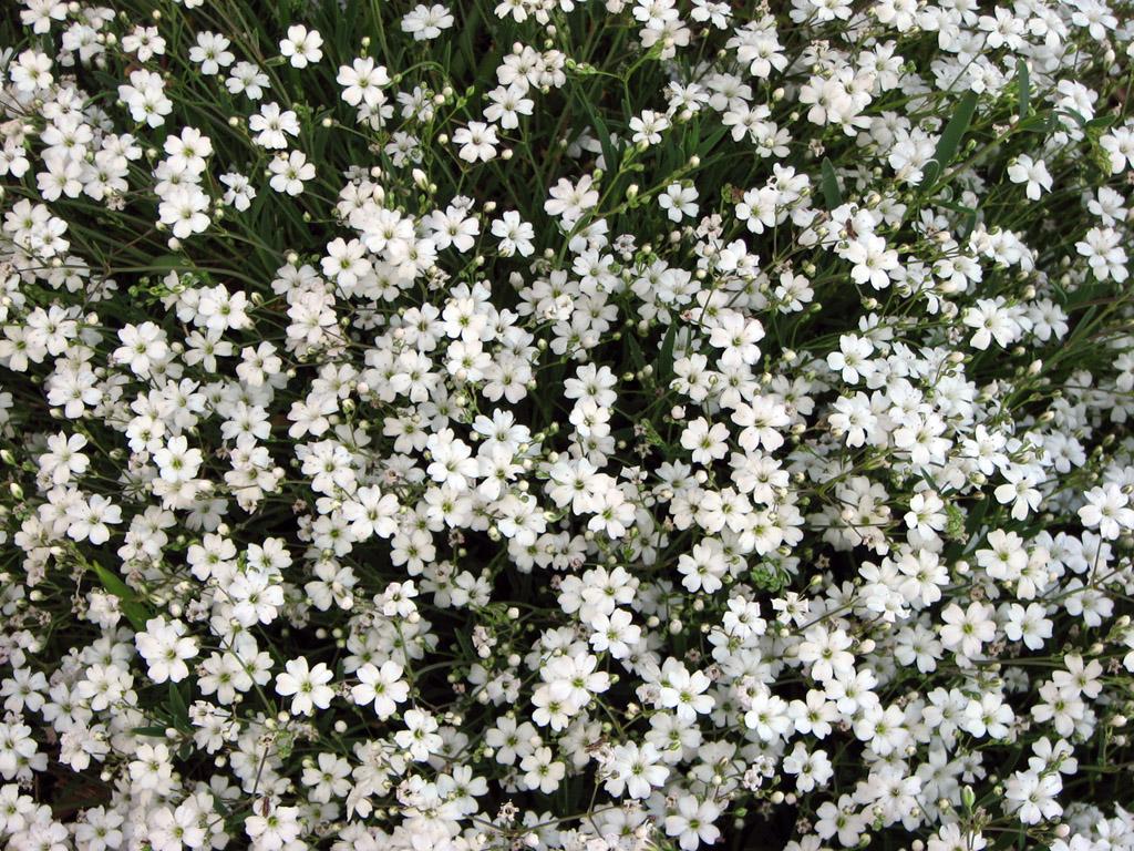 Гипсоыила: описание цветка, рзмножение гипсофилы