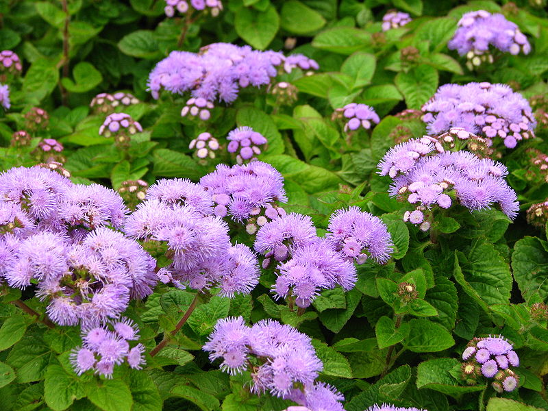 Агератум: описание, размножение, применение в саду, уход, фото