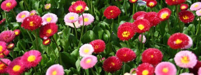 Маргаритка: описание, размножение, уход, посадка, применение в саду, фото, сорта и виды