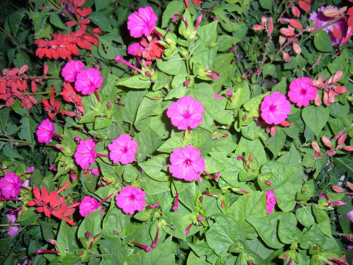 Цветок ночная красавица (мирабилис посадка и уход, фото) 5