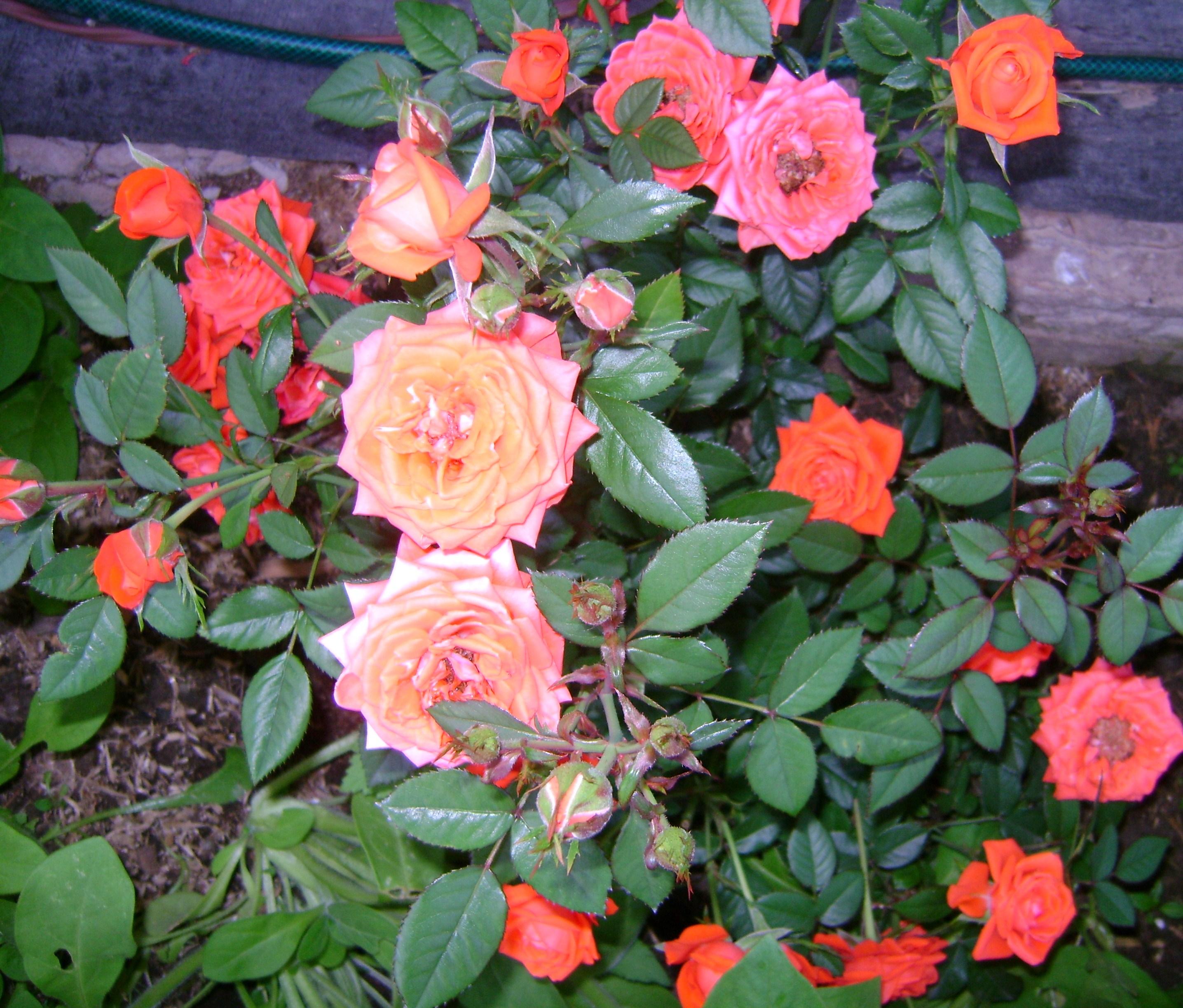 Размножаем розы в домиках