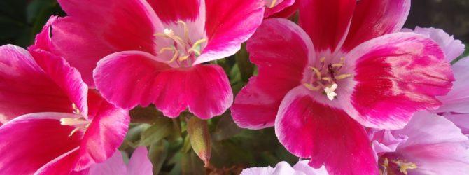 Годеция: описание цветка, виды годеции, основной уход.