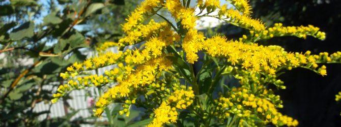 Золотарник (Солидаго): описание, размножение, уход, посадка, применение в саду, фото, сорта и виды