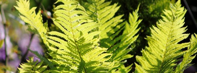 Папоротник: описание, размножение, уход, посадка, применение в саду, фото, сорта и виды