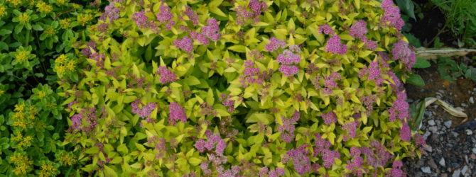 Смолевка: описание, размножение, уход, посадка, применение в саду, фото, сорта и виды