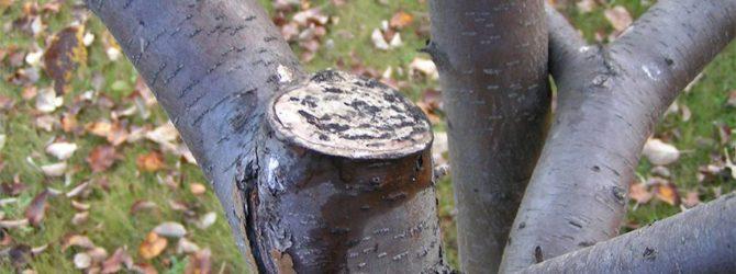 Зимние раны деревьев