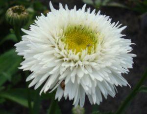 Нивяник (Поповник): описание, размножение, уход, посадка, применение в саду, фото, сорта и виды