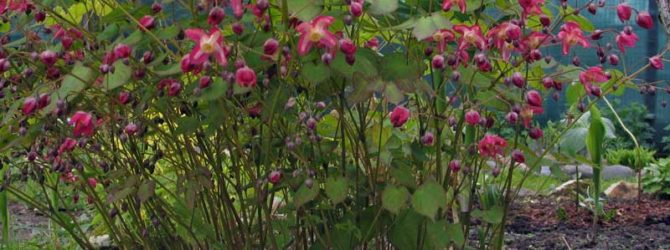 Эпимедиум (Горянка): описание, размножение, уход, посадка, применение в саду, фото, сорта и виды