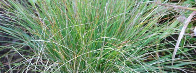 Овсяница: описание, размножение, уход, посадка, применение в саду, фото, сорта и виды