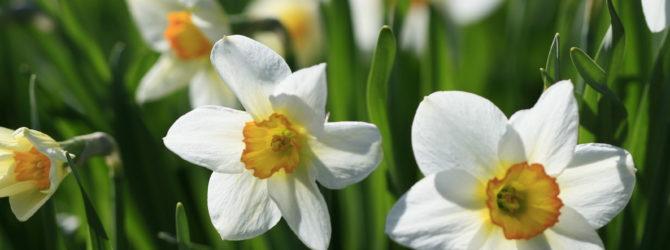 Нарцисс: описание, размножение, уход, посадка, применение в саду, фото, сорта и виды