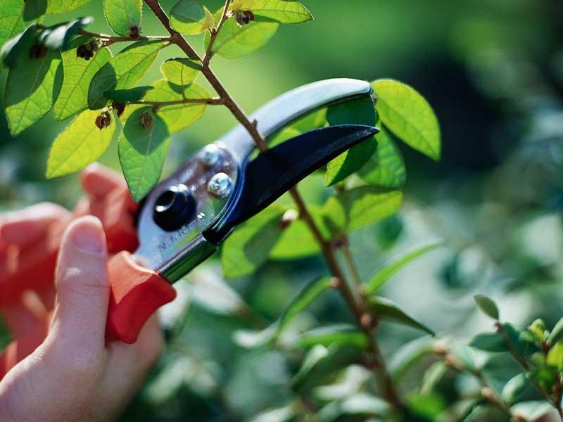 Когда и как обрезать кустарники?