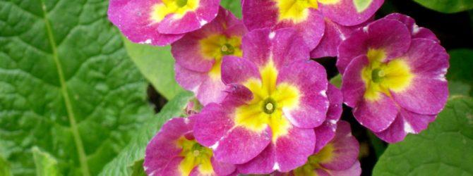Примула (Первоцвет): описание, размножение, уход, посадка, применение в саду, фото, сорта и виды