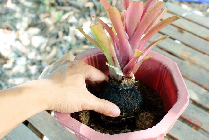 пересадка растения семейства бромелиевые