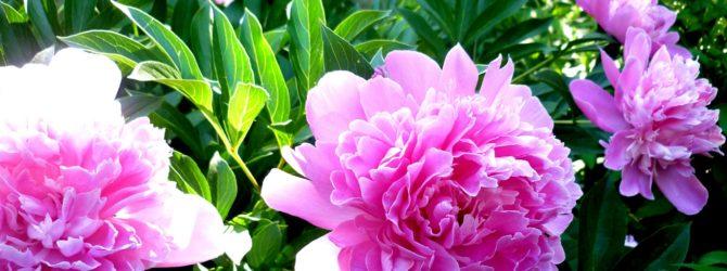 Пион: описание, размножение, уход, посадка, применение в саду, фото, сорта и виды
