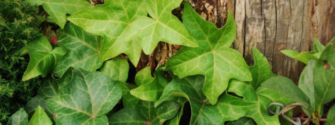 Плющ: описание, размножение, уход, посадка, применение в саду, фото, сорта и виды