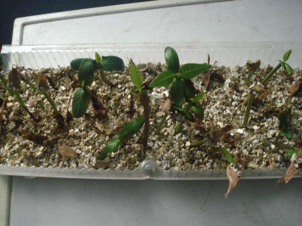 Проросшие семена плюмерии
