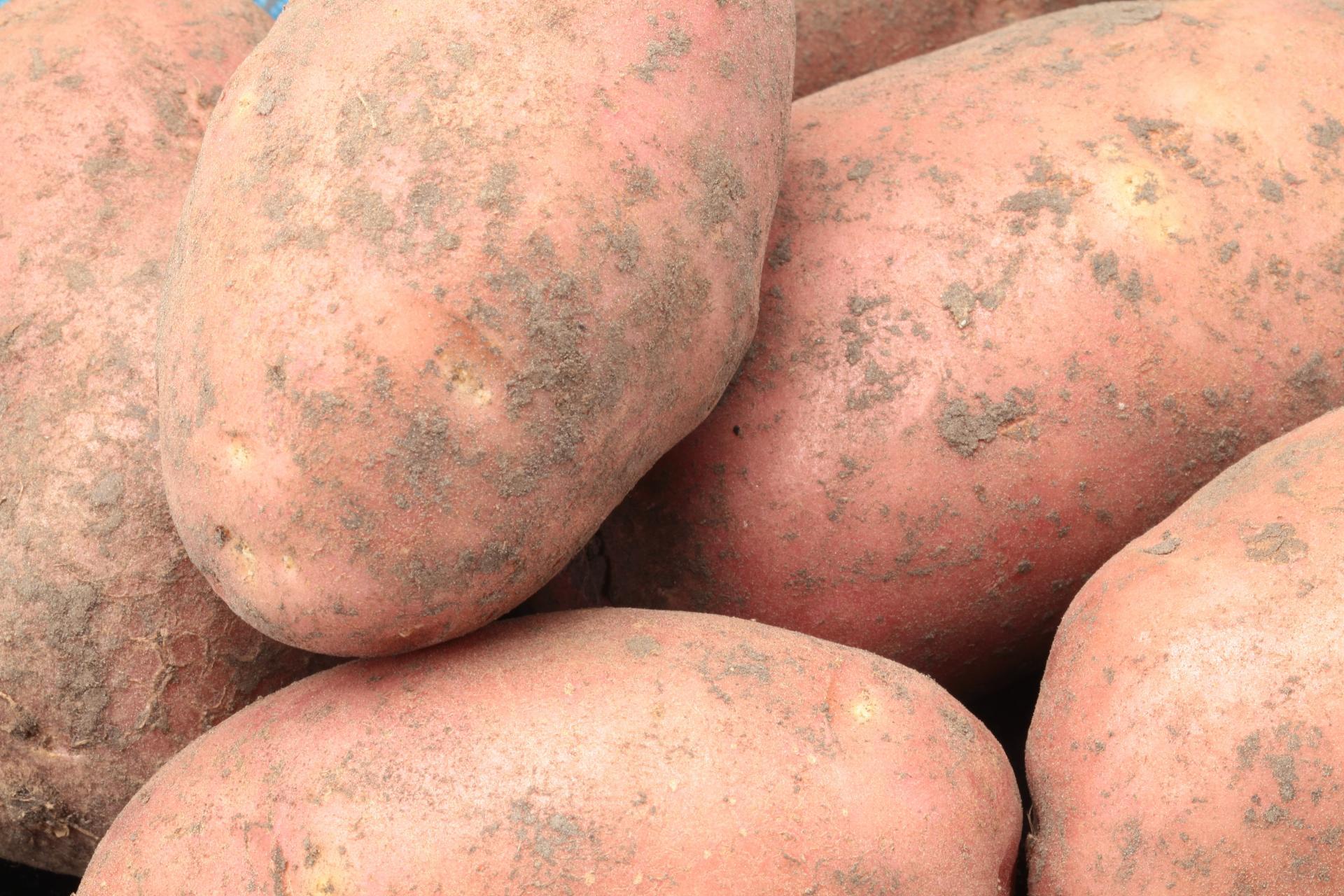 Картофель выращивание и болезни 9