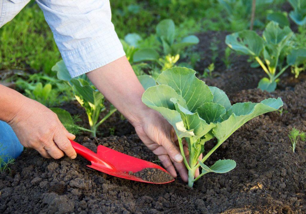 Посадка капустной рассады в открытый грунт