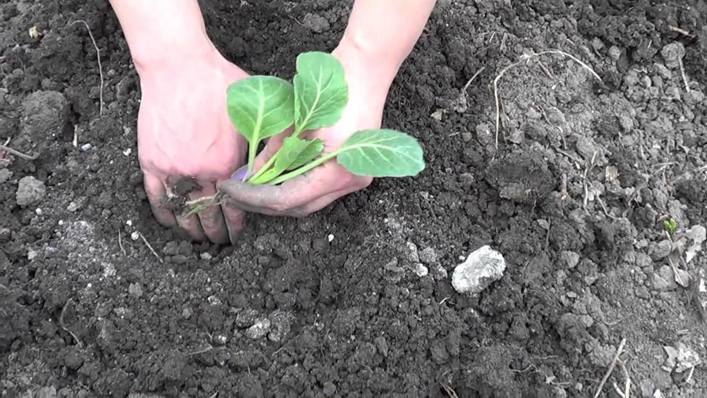 Как правильно садят или сажают овощи 52