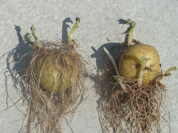 Проросшие клубни с корнями