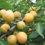 Сорт абрикоса Лучший Мичуринский