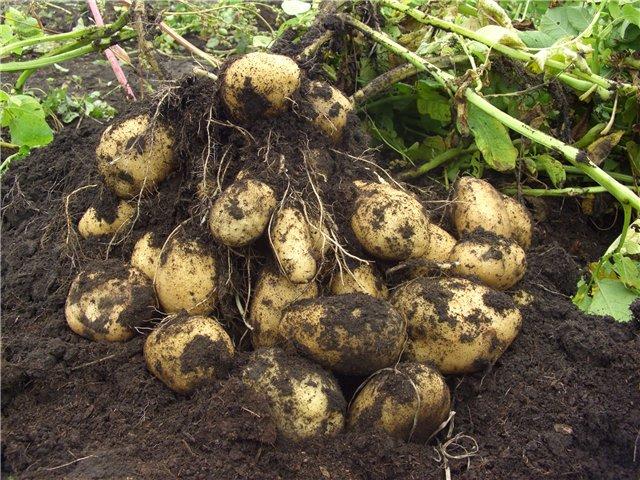 Уборка урожая картофеля