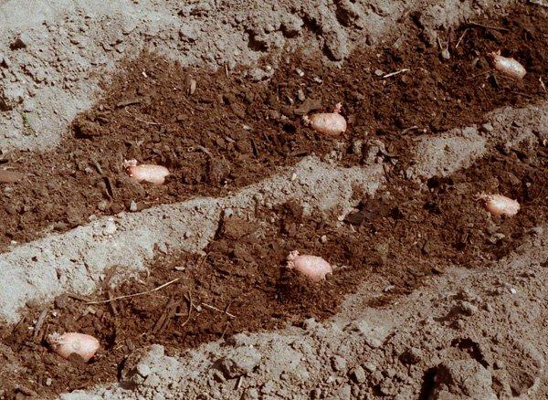 Высадка картофеля в грунт