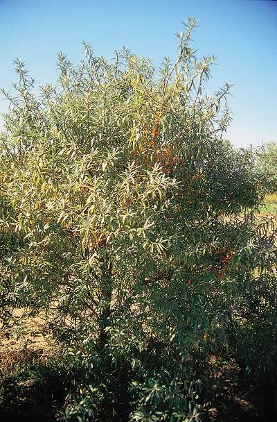 Дерево облепихи сорта Великан