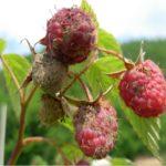 Гниль на ягодах малины