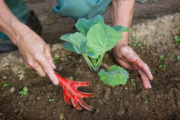 Окучивание рассады капусты