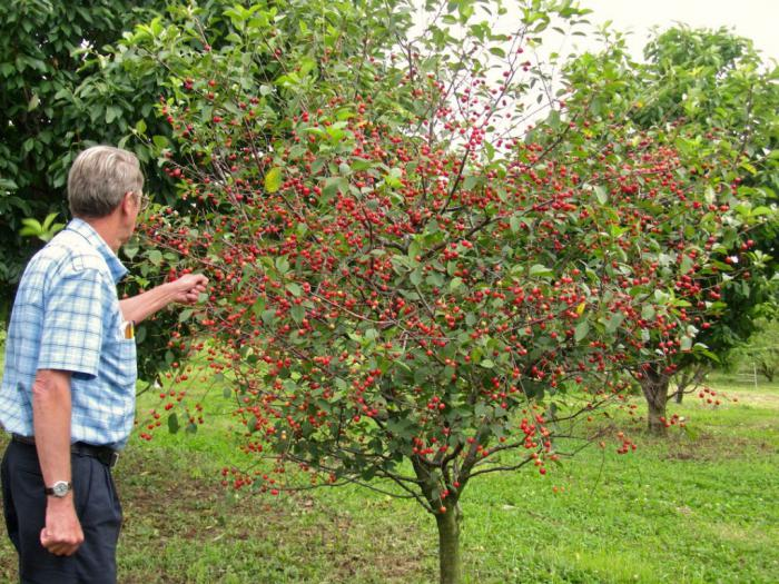 Плодоносящая вишня