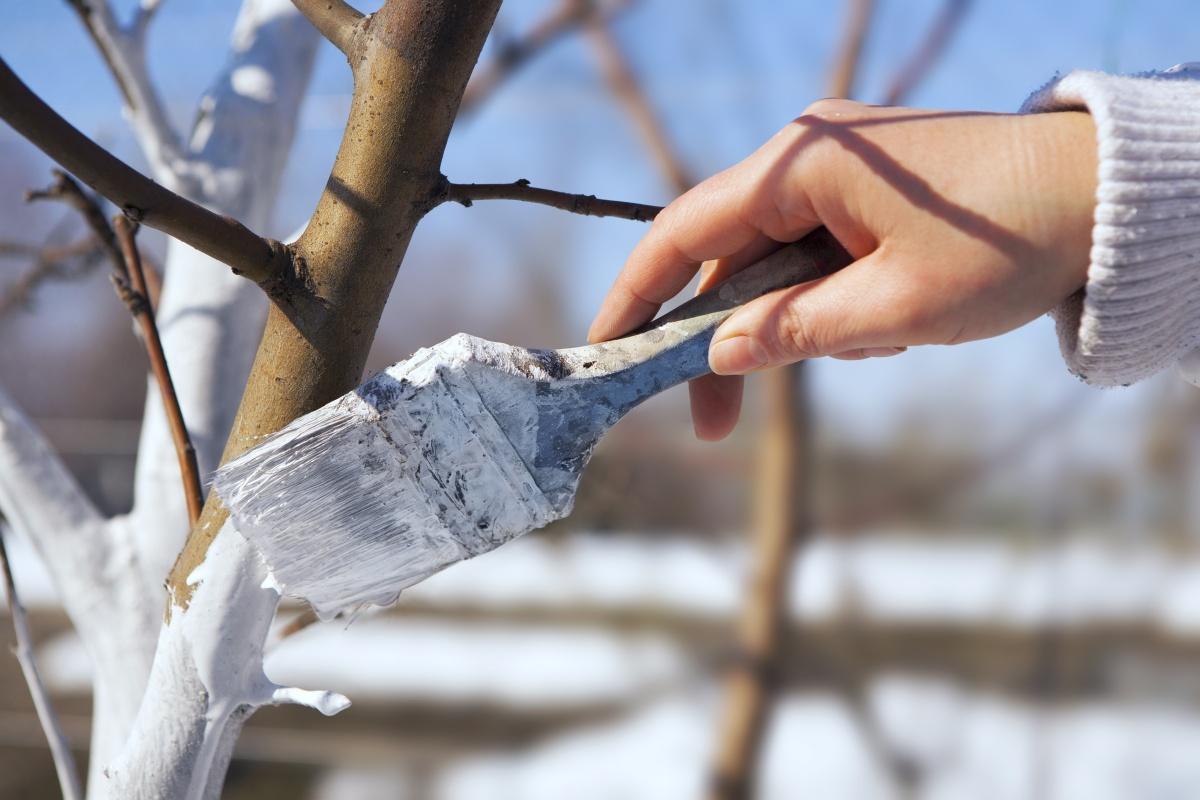как побелить деревья фото