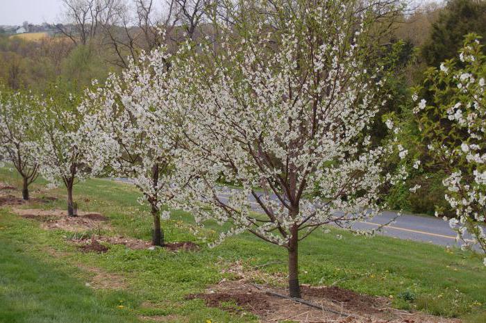 Ряд цветущих вишен